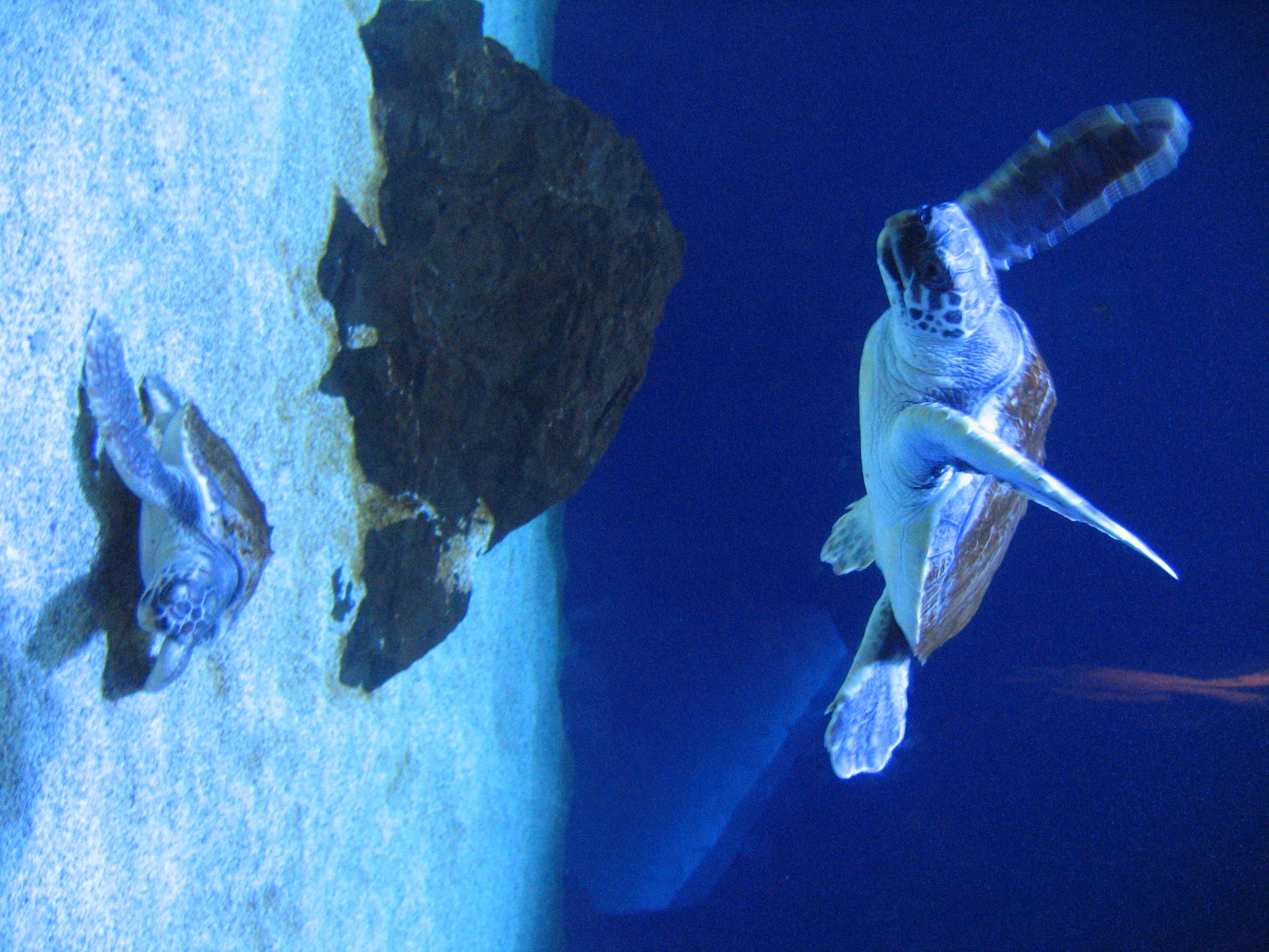 Le due tartarughe marine ospitate da un anno nell asilo for Acquario per tartarughe piccole